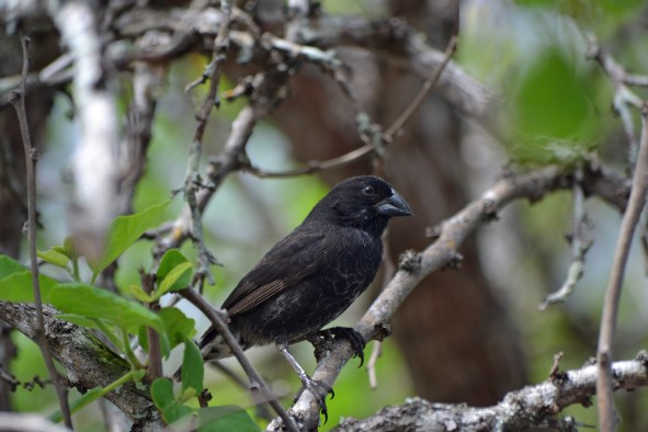 A male medium ground finch, one of at least 14 species of Darwin's finches in the Galapagos Islands, Ecuador.