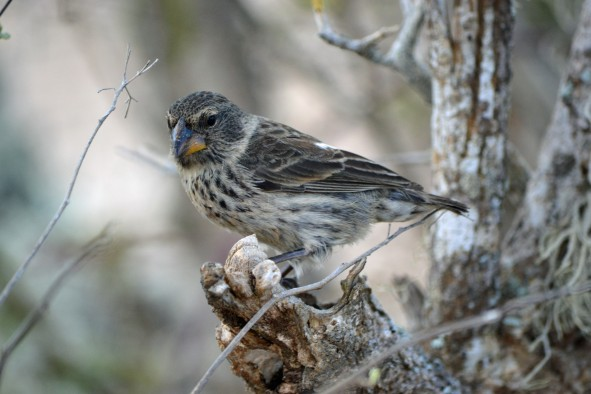 A female medium ground finch, one of at least 14 species of Darwin's finches in the Galapagos Islands, Ecuador.