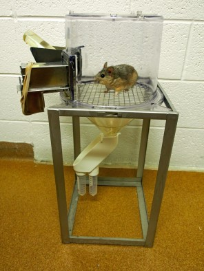 A desert woodrat in a metabolism cage at the University of Utah. The cage allows researchers to measure how much food and water the rat consumes and how much waste it produces.