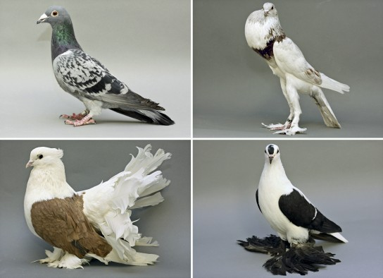 A collage of four breeds of pigeons shows two with scaled feet (top) and two with feathered feet, known as muffs (bottom). Top left is a racing homer. Top right is an English Pouter. Bottom left is an Indian fantail. Bottom right is a fairy swallow. Biologists at the University of Utah have shown how foot feathers develop in pigeon breeds in which a hindlimb development gene becomes less active and a forelimb or wing development gene becomes more active in the legs.