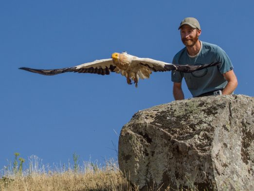 Evan R. Buechley releasing an adult Egyptian Vulture in Armenia after tagging it with a satellite tracking device (visible on the back of the bird). This device will allow detailed tracking of the movements in order to investigate where this endangered species is breeding, feeding, and migrating. Such technology is important for identifying critical habitat for the conservation of endangered vultures.
