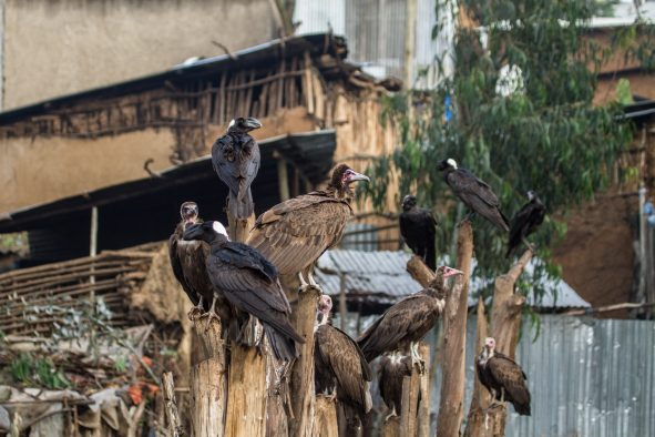Hooded Vultures and Thick-billed Ravens searching for food in an urban setting, Addis Ababa, Ethiopia.