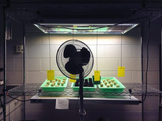 Kale and peppers growing in rock wool and soil. The fan and sticky traps (yellow papers) were used to successfully and quickly rid the starts from a potentially damaging gnat problem.