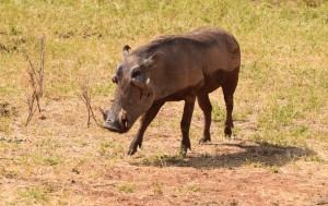 Warthogs, such as this one in Kenya's Samburu National Reserve, are the only pigs that survived an experiment in grazing on grass during the past 4 million years. Two other pig lineages went extinct after they and many other African animals tried eating tropical grasses that spread across Africa during the past 10 million years.