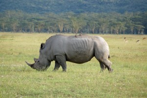 The white rhino in Kenya's Nakuru National Park is among the few surviving African grass grazers that are not bovids, a group that includes buffalo, cattle, goats, wildebeest and some antelopes such as oryx and waterbucks.