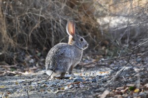 A desert cottontail rabbit in Palm Springs, California. This was one of three species or rabbits and hares that lived at a coastal site in Baja California, Mexico, during the past 10,000 years. A study of rabbit and hare bones excavated from the Baja site shows how the animals' populations soared when rains drenched the Pacific Coast during prehistoric El Niño episodes.