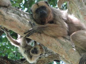 A mother and baby of the howler monkey species Alouatta caraya.