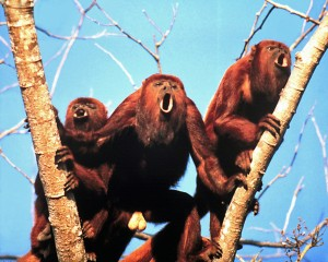 Howler monkeys of the species Alouatta arctoidea</I..