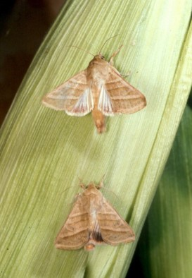 Adult male (top) and female (bottom) H. virescens moths on an ear of corn.