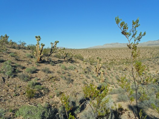 Creosote bushes in the Mojave Desert.
