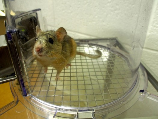 A desert woodrat at a University of Utah laboratory.