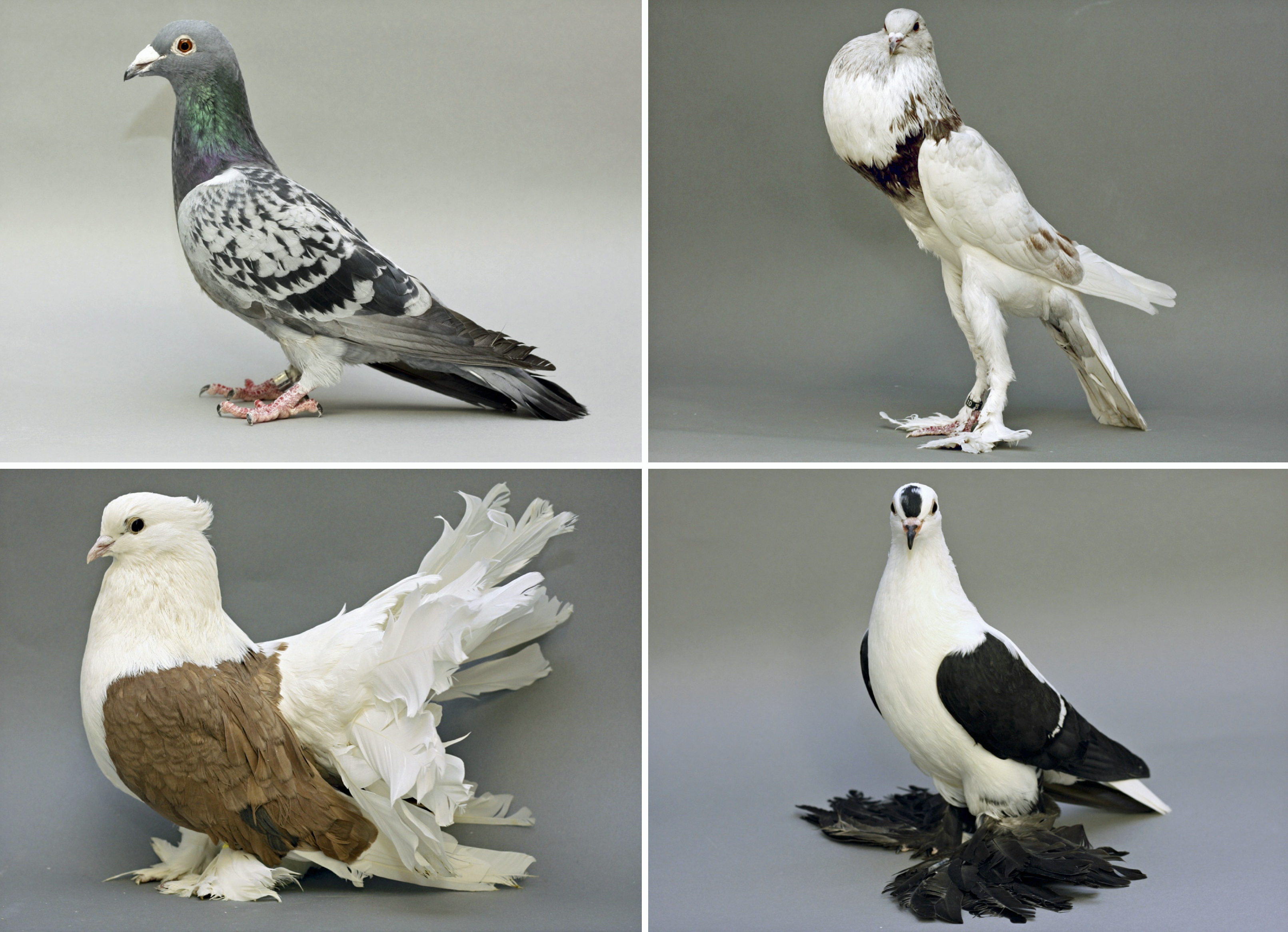 Pigeon Foot Feather Genes Identified Unews