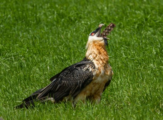 At a road-kill dog carcass in Ethiopia, a Bearded Vulture, the only vertebrate osteophage (bone-eating specialist), swallows a large section of dog vertebrae whole.