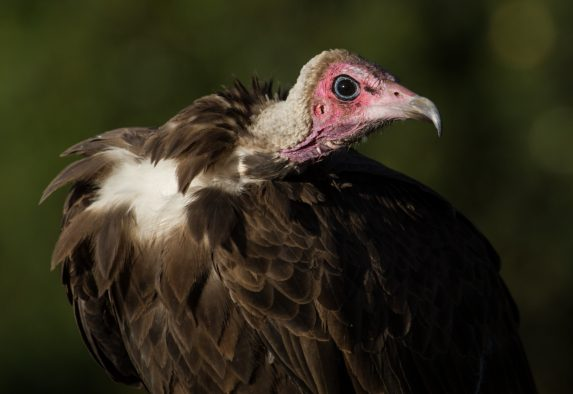 An adult Hooded Vulture in Ethiopia. The once common Hooded Vulture was uplisted to critically endangered in 2015 because of drastic declines in populations across Africa. Hooded vultures are dying primarily from poisons in the carrion they eat.