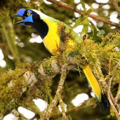 An omnivorous Green (Inca) Jay (Cyanocorax yncas) in Ecuador.
