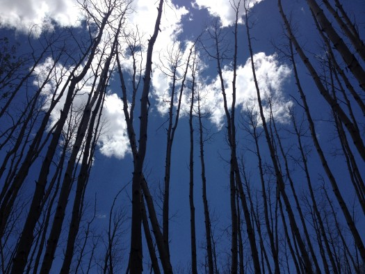 Trembling aspen trees killed by drought stress near Flagstaff, Arizona, June 2014.