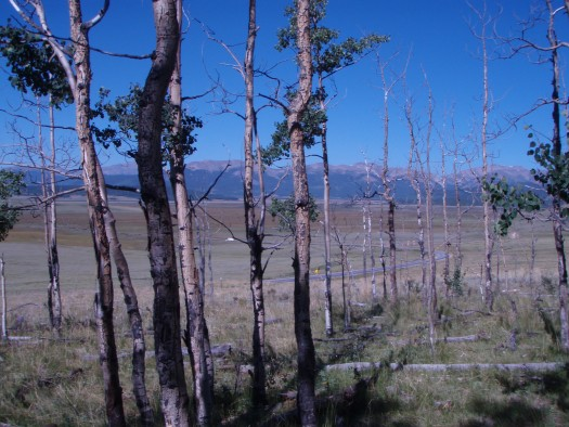 Trembling aspen trees killed by severe drought near Fairplay, Colorado, August 2009.