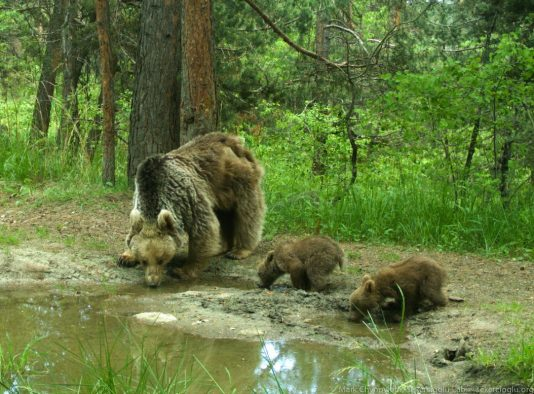 A mother bear and her two cubs stop for a drink in Sarıkamış Forest, eastern Turkey