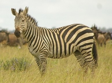 Plains zebra.
