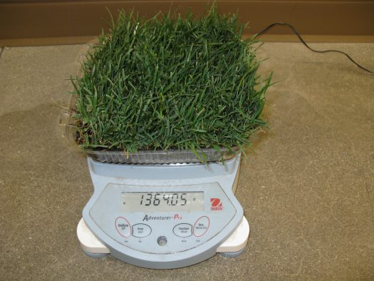 Weighing turfgrass patches to determine rate of water loss.