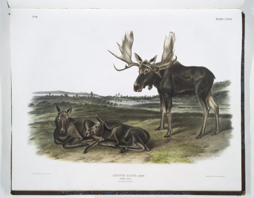 """""""Moose"""" plate 76 from Audubon's """"The Quadrupeds of North America"""""""