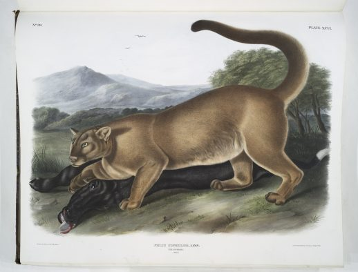 """""""Cougar"""" plate 96 from Audubon's """"The Quadrupeds of North America"""""""