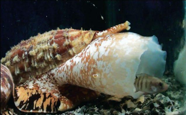 Conus geographus hunting a fish