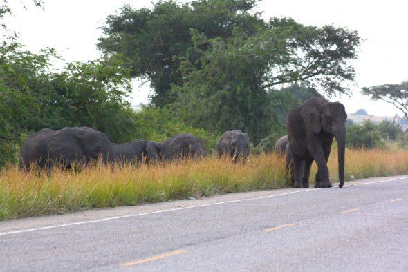 Elephants crossing a highway outside of Queen Elizabeth National Park, Uganda.