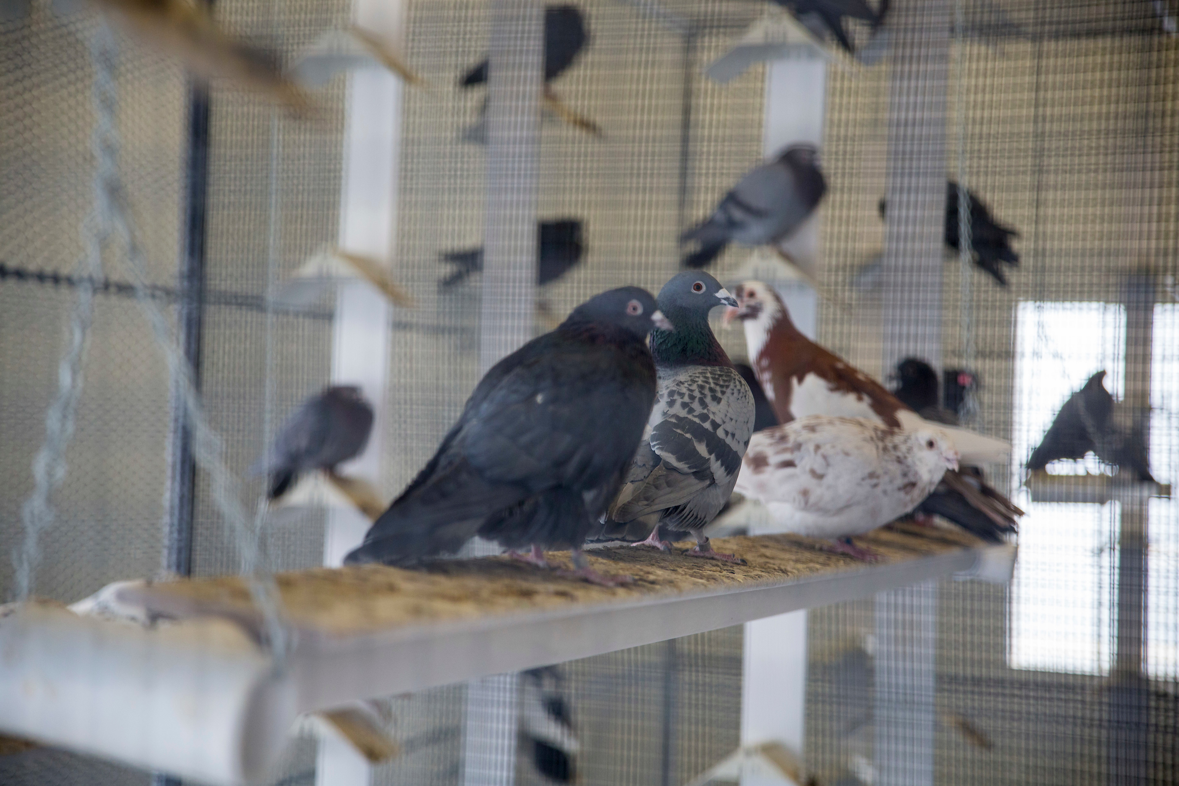 Variations Of A Single Gene Drive Diverse Pigeon Feather