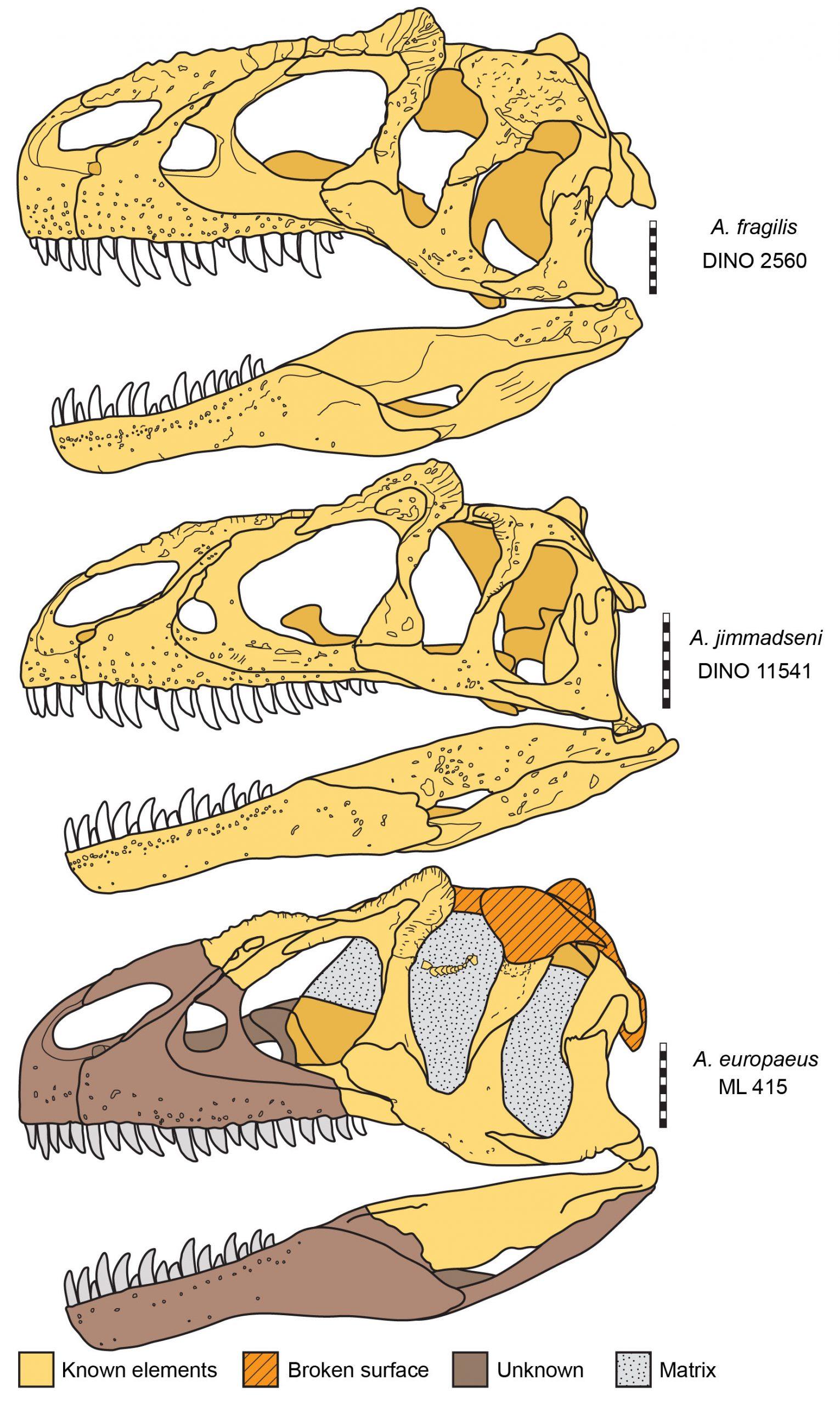 Three-species-of-Allosaurus-compared-credit-Mark-Loewen-scaled.jpg