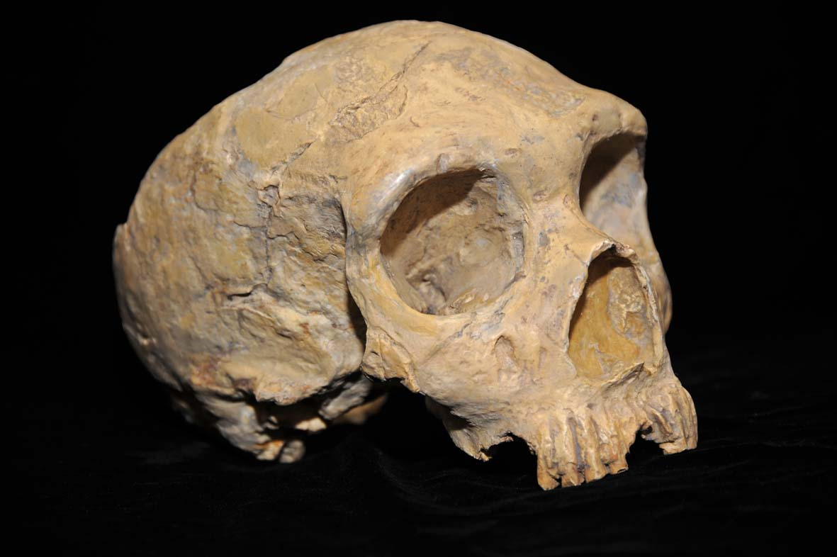 A skull of a Neanderthal.